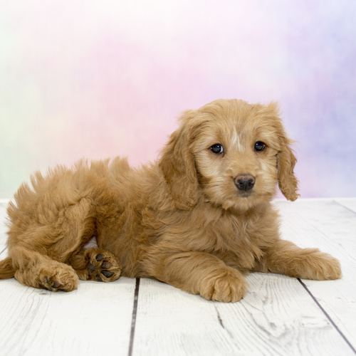 Goldendoodle puppies for sale at Canine Corral Huntington Station, NY 11746