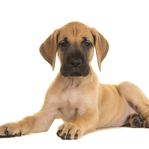 Great Dane puppy for sale at Canine Corral Huntington Station, NY 11746