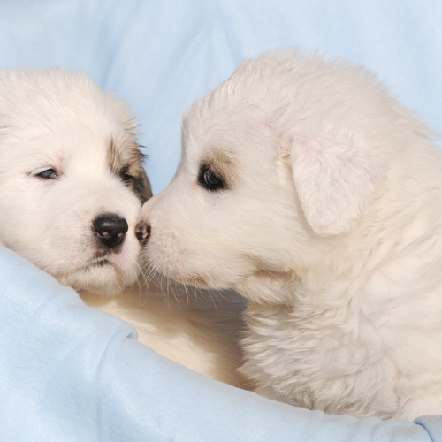 Great Pyrenees puppies for sale at Canine Corral Huntington Station, NY 11746