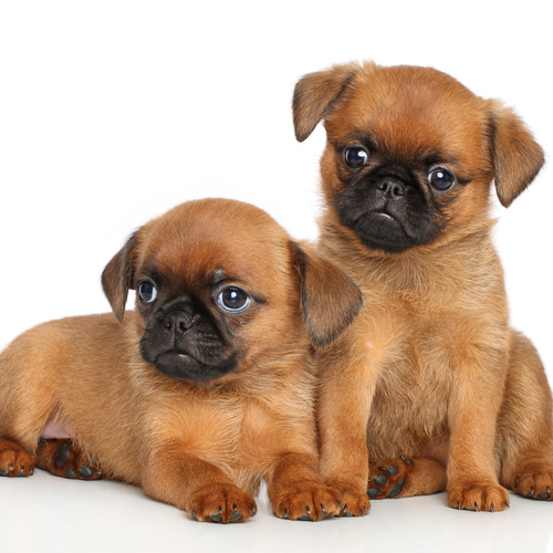 Brussels Griffon puppy for sale at Canine Corral Huntington Station, NY 11746