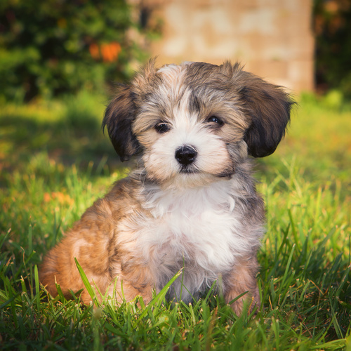 Havanese puppy for sale at Canine Corral Huntington Station, NY 11746