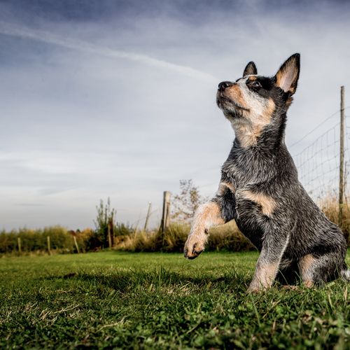 Heeler puppies for sale at Canine Corral Huntington Station, NY 11746