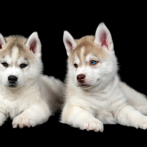 Huskimo puppies for sale at Canine Corral Huntington Station, NY 11746