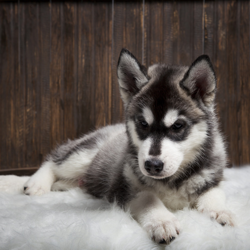 Husky Inu puppy for sale at Canine Corral Huntington Station, NY 11746