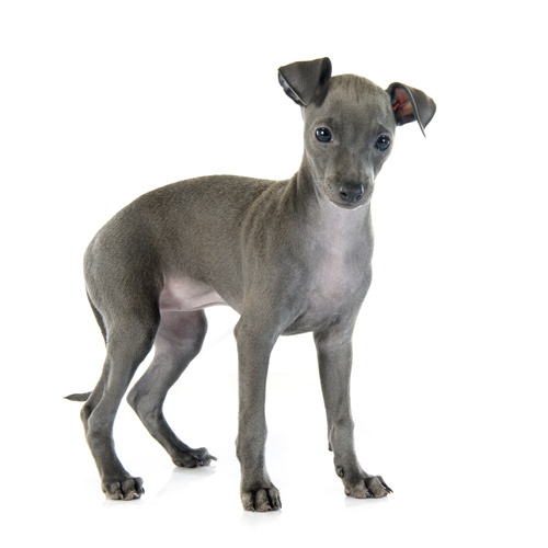 Italian Greyhound puppies for sale at Canine Corral Huntington Station, NY 11746