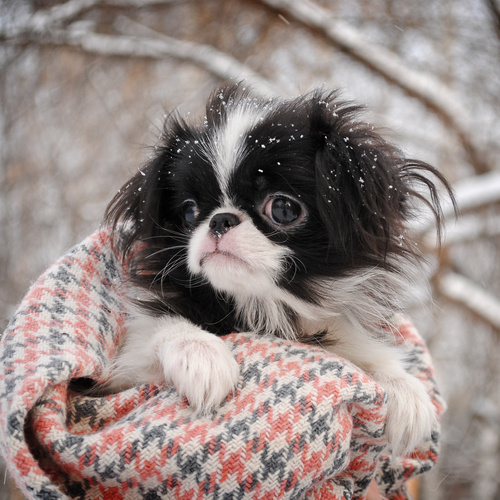 Japanese Chin puppy for sale at Canine Corral Huntington Station, NY 11746