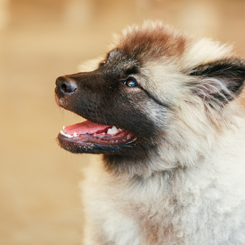 Keeshond puppy for sale at Canine Corral Huntington Station, NY 11746