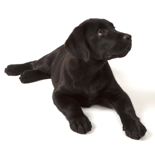 Lab Hound puppy for sale at Canine Corral Huntington Station, NY 11746
