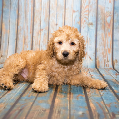 Labradoodle puppy for sale at Canine Corral Huntington Station, NY 11746