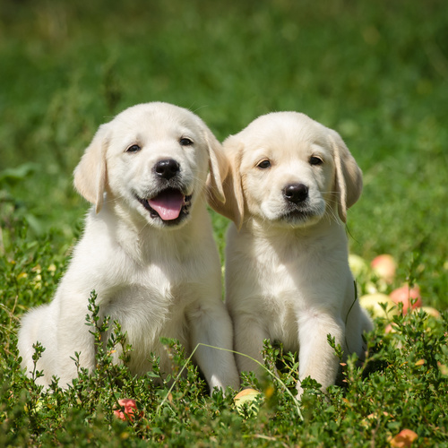 Labrador Retriever puppies for sale at Canine Corral Huntington Station, NY 11746