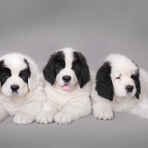 Landseer puppies for sale at Canine Corral Huntington Station, NY 11746