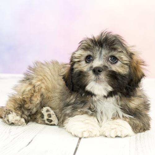 Lhasa Apso puppies for sale at Canine Corral Huntington Station, NY 11746
