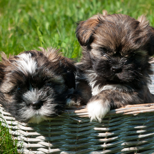 Lhasa Shih puppies for sale at Canine Corral Huntington Station, NY 11746