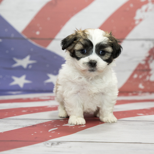 Malshi puppies for sale at Canine Corral Huntington Station, NY 11746