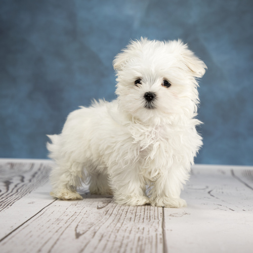 Maltese puppy for sale at Canine Corral Huntington Station, NY 11746