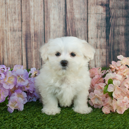 Maltipoo puppy for sale at Canine Corral Huntington Station, NY 11746