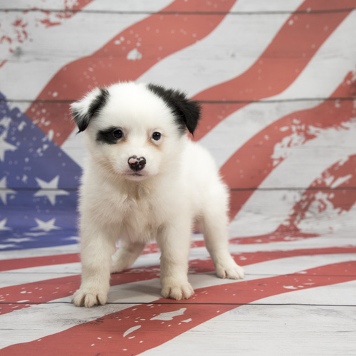 Mini Australian Eskimo puppy for sale at Canine Corral Huntington Station, NY 11746