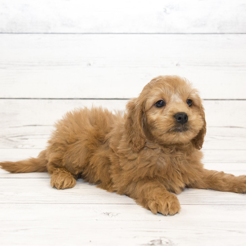 Mini Goldendoodle puppy for sale at Canine Corral Huntington Station, NY 11746