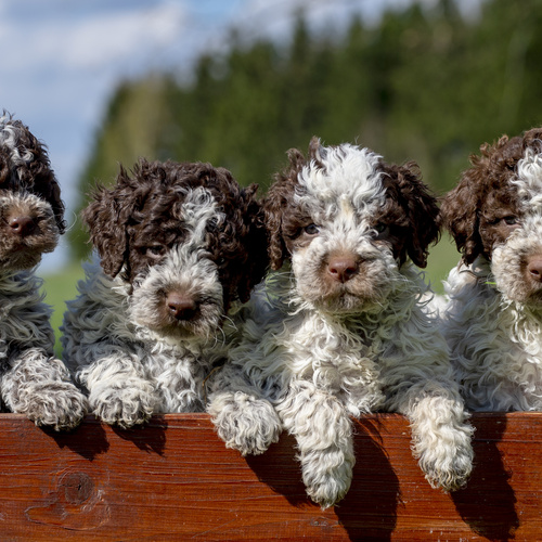 Mini Springerdoodle puppies for sale at Canine Corral Huntington Station, NY 11746