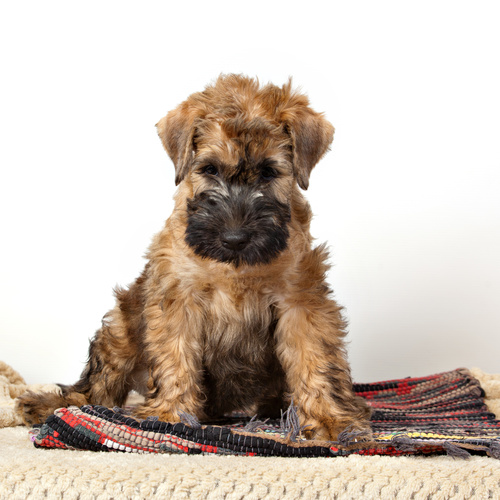 Mini Whoodle puppy for sale at Canine Corral Huntington Station, NY 11746