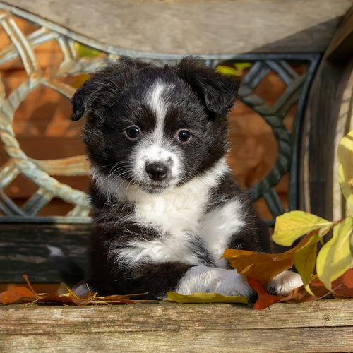 Mini American Shepherd puppy for sale at Canine Corral Huntington Station, NY 11746