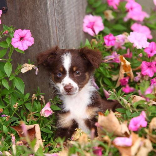 Mini Australian Shepherd puppy for sale at Canine Corral Huntington Station, NY 11746