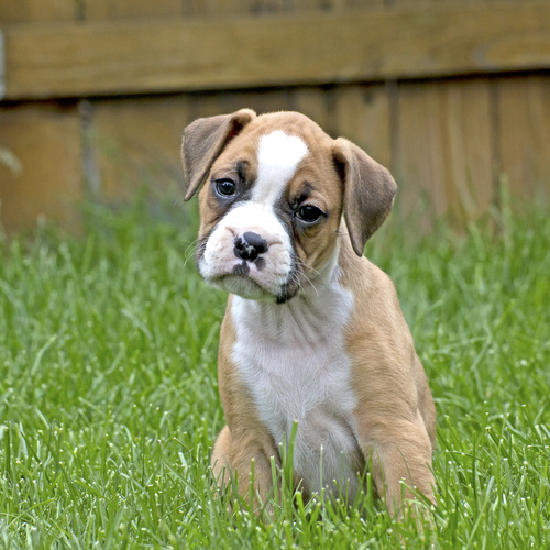 Mini Boxer puppies for sale at Canine Corral Huntington Station, NY 11746