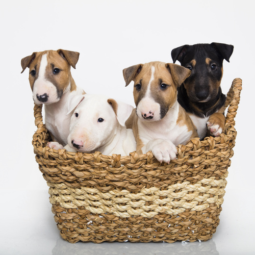 Mini Bull Terrier puppy for sale at Canine Corral Huntington Station, NY 11746
