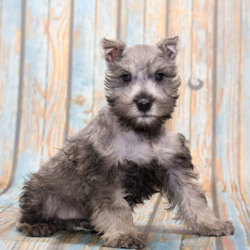 Mini Schnauzer puppy for sale at Canine Corral Huntington Station, NY 11746