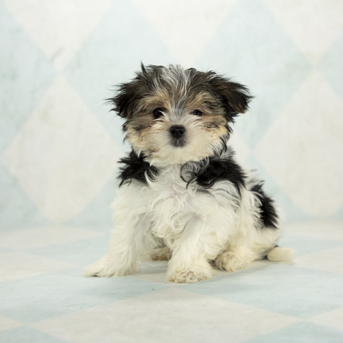 Morkie puppy for sale at Canine Corral Huntington Station, NY 11746
