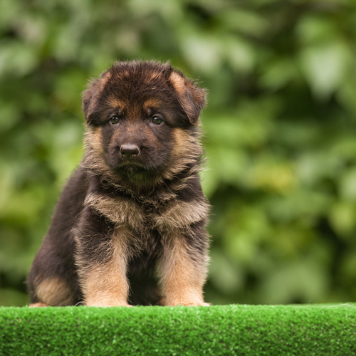 Old German Shepherd Dog puppy for sale at Canine Corral Huntington Station, NY 11746