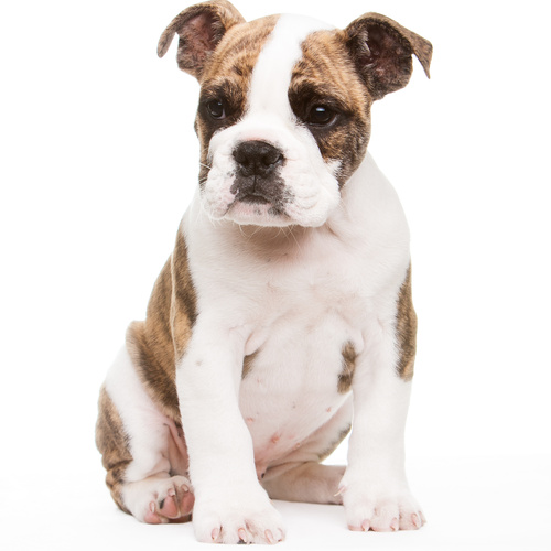 Olde English Bulldogge puppy for sale at Canine Corral Huntington Station, NY 11746