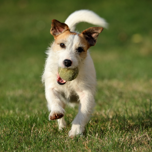 Parson Russell Terrier puppy for sale at Canine Corral Huntington Station, NY 11746
