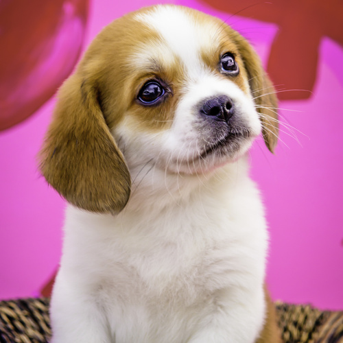 Peagle puppy for sale at Canine Corral Huntington Station, NY 11746