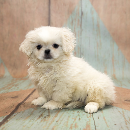 Pekingese puppy for sale at Canine Corral Huntington Station, NY 11746