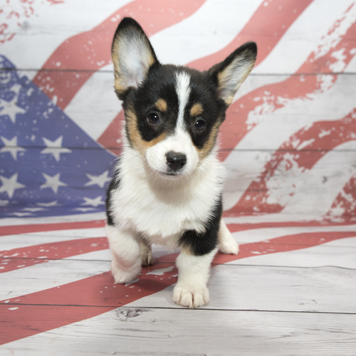 Pembroke Welsh Corgi puppies for sale at Canine Corral Huntington Station, NY 11746