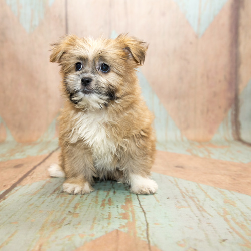 Pom Shih puppies for sale at Canine Corral Huntington Station, NY 11746