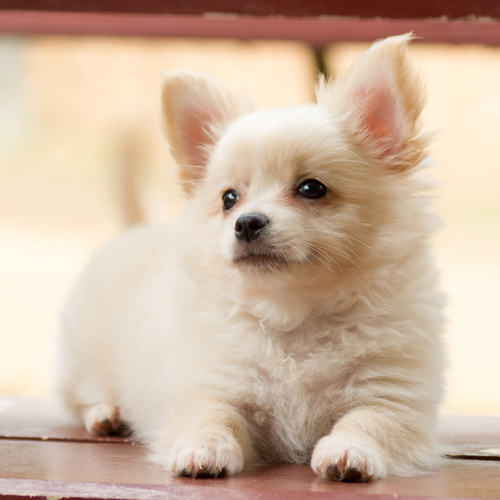 Pomchi puppy for sale at Canine Corral Huntington Station, NY 11746