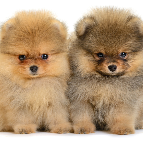 Pomeranian puppies for sale at Canine Corral Huntington Station, NY 11746