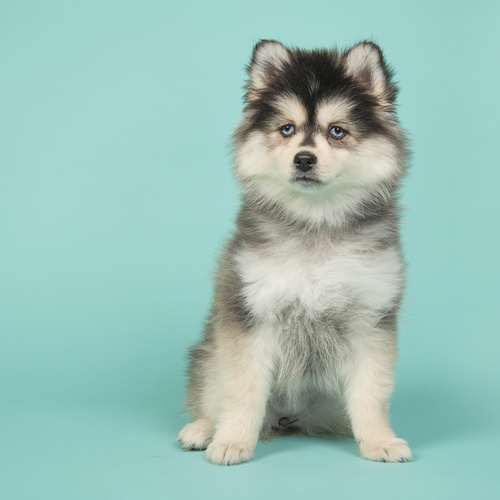Pomsky puppy for sale at Canine Corral Huntington Station, NY 11746