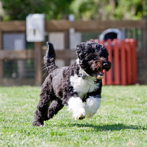 Portuguese Water Dog puppy for sale at Canine Corral Huntington Station, NY 11746