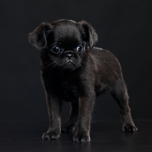Pug Griffon puppy for sale at Canine Corral Huntington Station, NY 11746