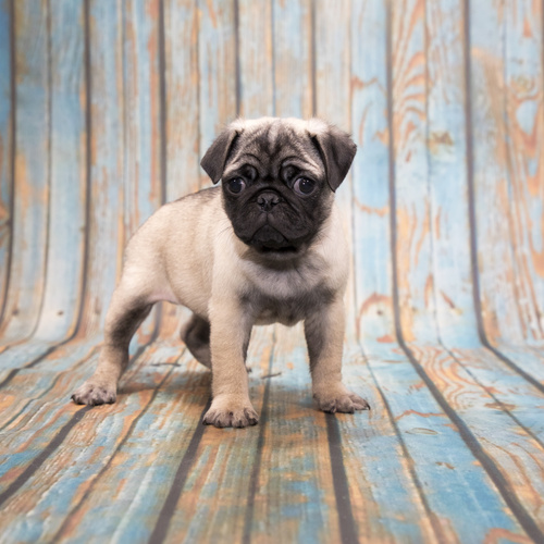 Pug puppy for sale at Canine Corral Huntington Station, NY 11746