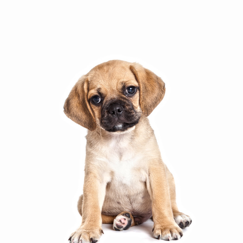 Puggle puppy for sale at Canine Corral Huntington Station, NY 11746