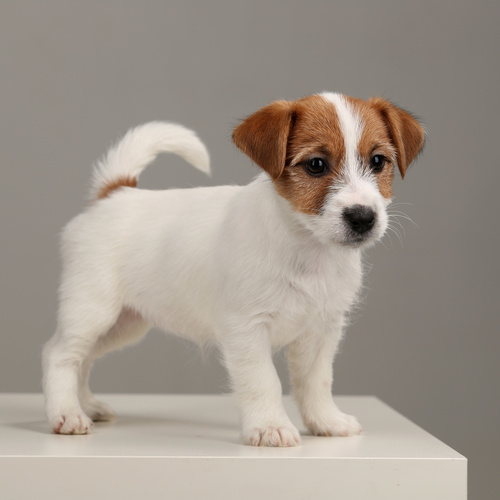 Russell Terrier puppy for sale at Canine Corral Huntington Station, NY 11746