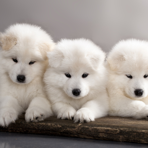Samoyed puppy for sale at Canine Corral Huntington Station, NY 11746