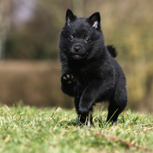 Schipperke puppy for sale at Canine Corral Huntington Station, NY 11746