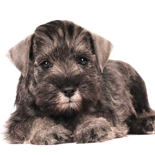 Schnauzer chon puppy for sale at Canine Corral Huntington Station, NY 11746
