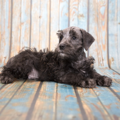 Schnoodle puppy for sale at Canine Corral Huntington Station, NY 11746