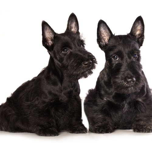 Scottish Terrier puppy for sale at Canine Corral Huntington Station, NY 11746
